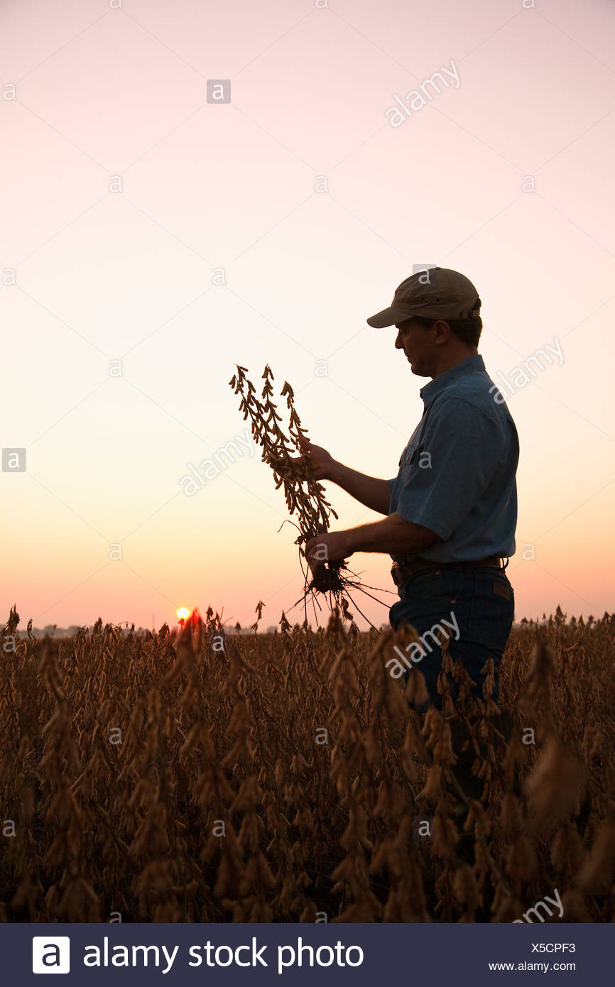 Agriculture - A farmer (grower) inspects his mature harvest ready crop of soybeans at dawn / Arkansas, USA. - Stock Image