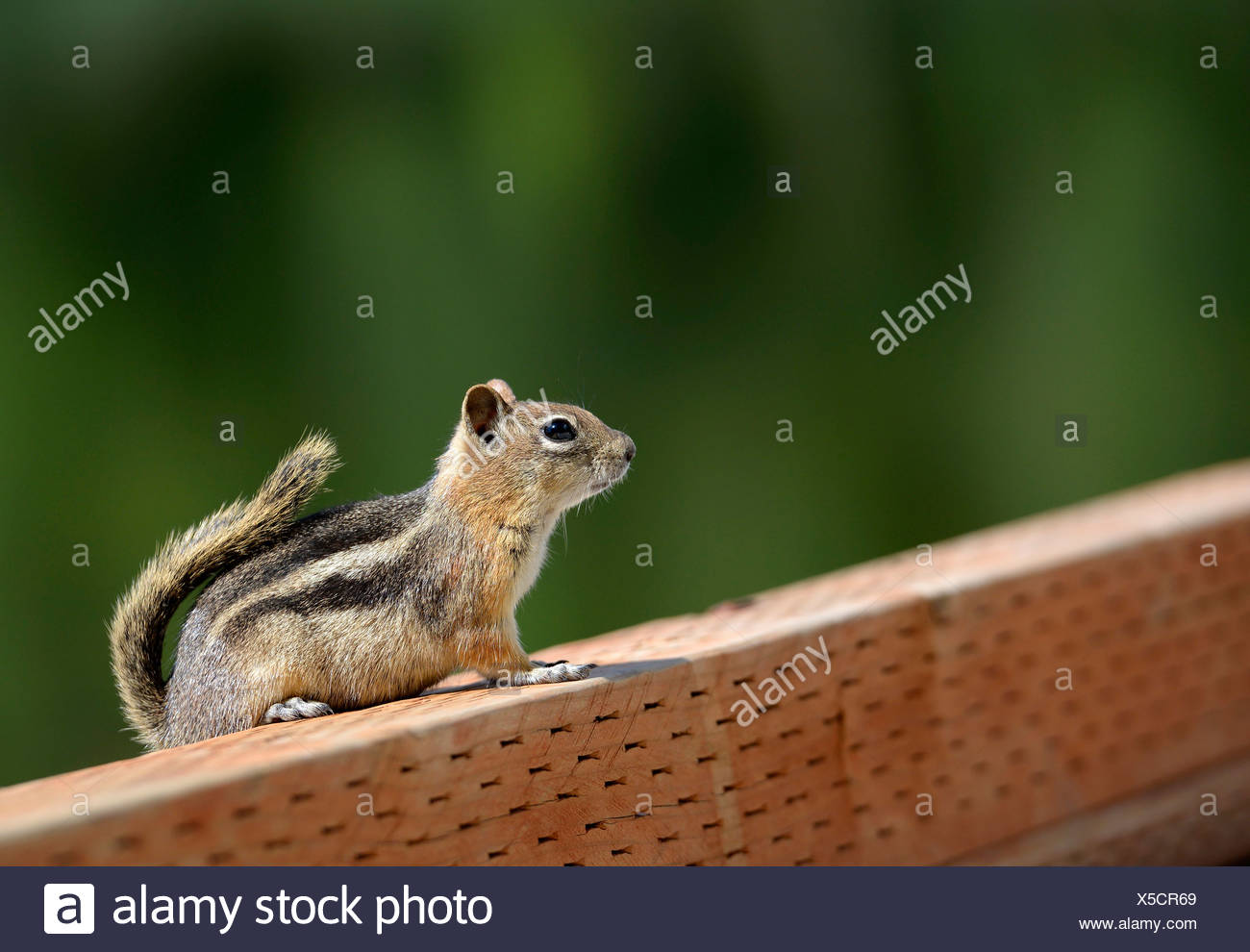 Cheeky squirrel, Golden-mantled Ground Squirrel (Spermophilus lateralis), Posey Lake, Dixie National Forest, Utah, Southwest - Stock Image
