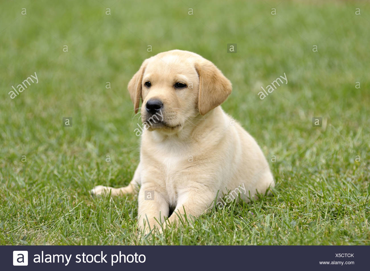 Blonde Labrador Retriever Lying On The Grass Puppy Stock Photo Alamy