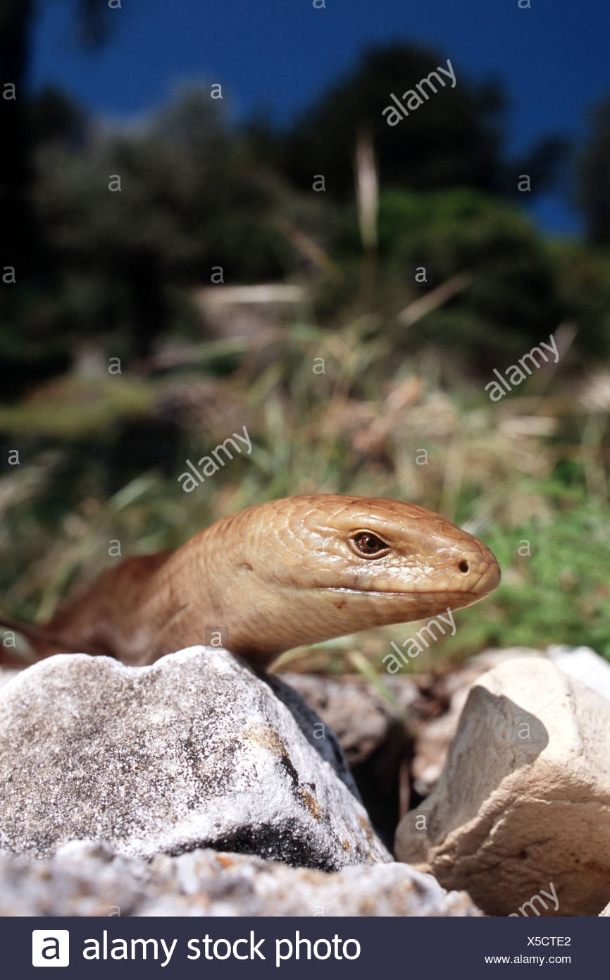 European Glass Lizard Armored Glass Lizard Ophisaurus Apodus Pseudopus Apodus Portrait Greece Samos Stock Photo Alamy