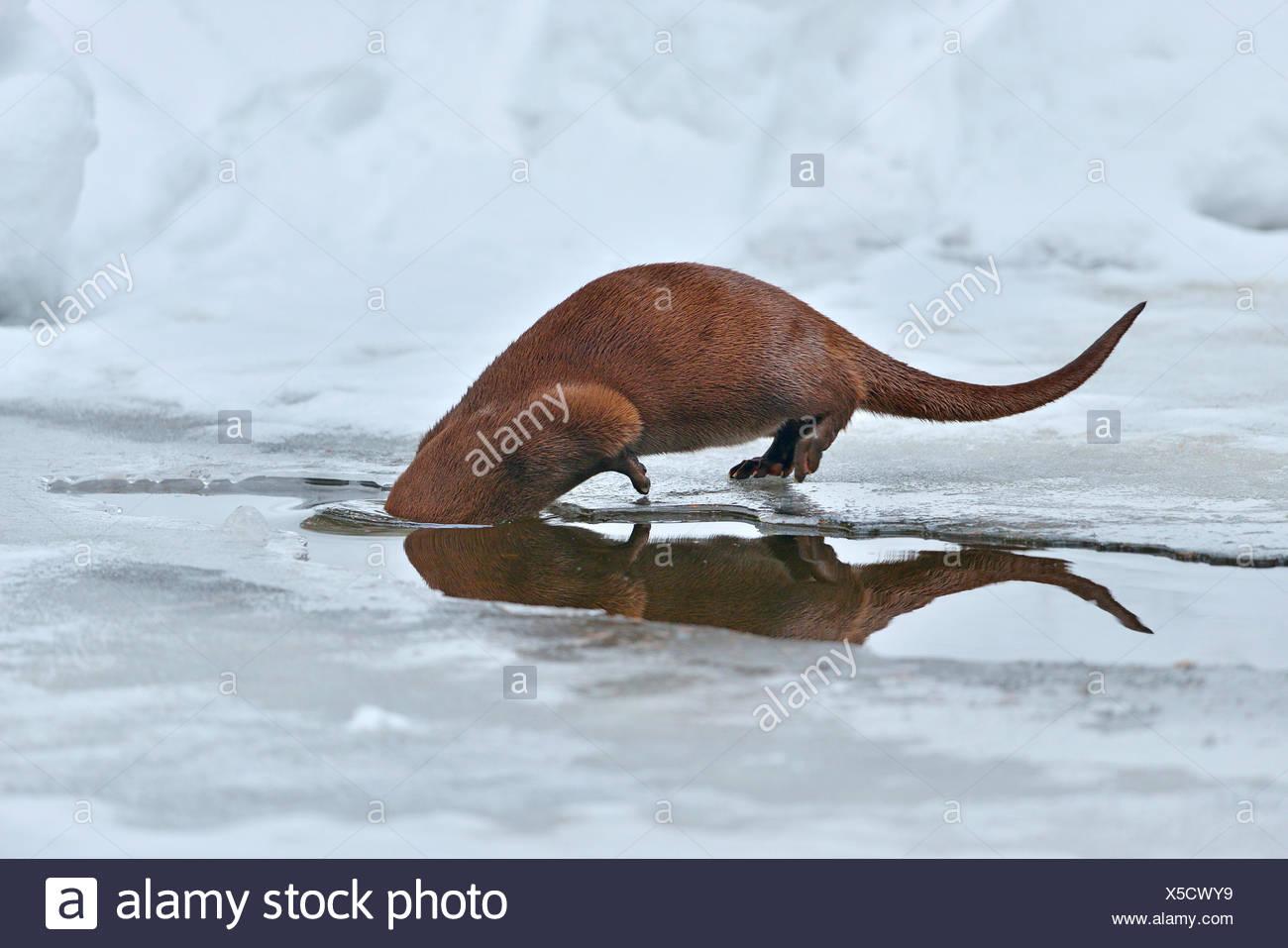European river otter, European Otter, Eurasian Otter (Lutra lutra), submerging, Germany, Bavaria, Bavarian Forest National Park Stock Photo
