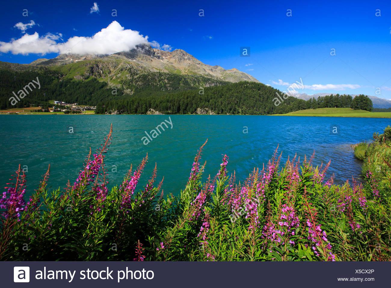 Fireweed, blooming sally, Rosebay willow-herb, Great willow-herb (Epilobium angustifolium, Chamerion angustifolium), Lej da Champf�r, Lej Suot, Piz Surlej, Switzerland, Grisons, Engadine Stock Photo
