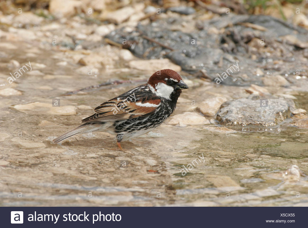 zoology / animals, avian / bird, passeriformes, Spanish Sparrow (Passer hispaniolensis), bird bathing in puddle, Dalmatia, Croatia, distribution: Mediterranean region, Additional-Rights-Clearance-Info-Not-Available - Stock Image