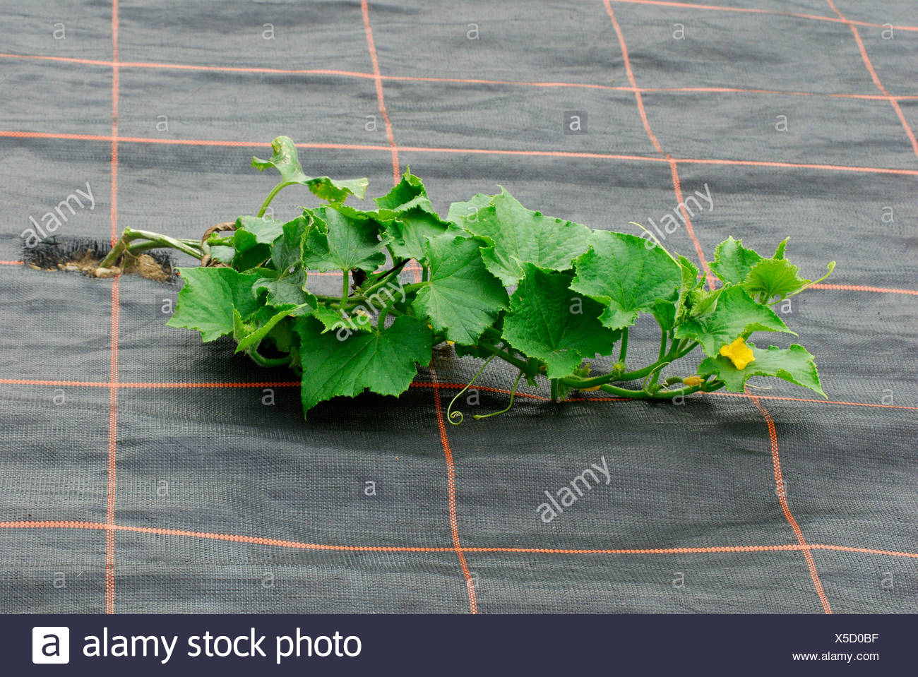 Cultivation of Pumpkin - Stock Image