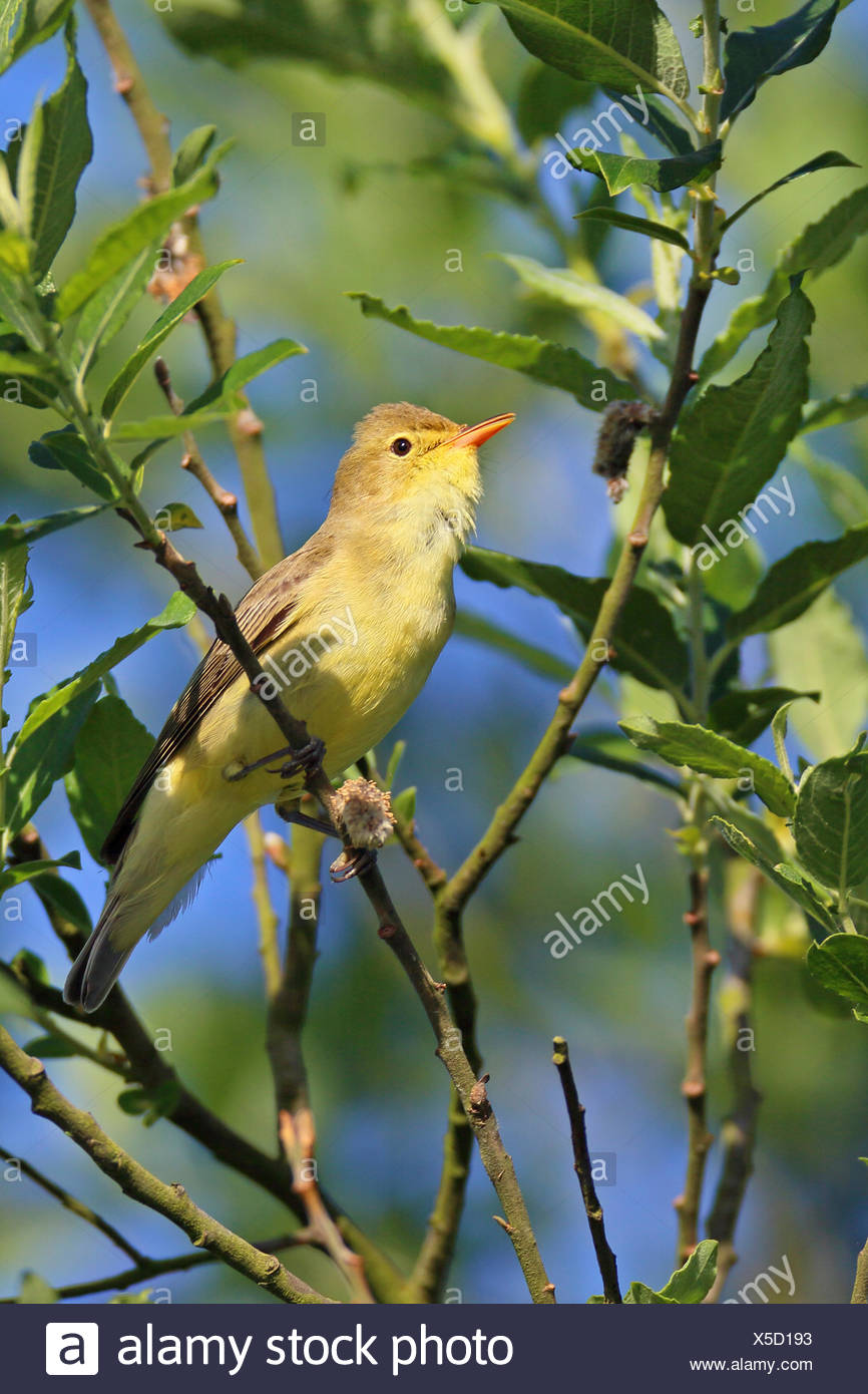 icterine warbler (Hippolais icterina), male sitting on a twig, side view, Netherlands, Frisia - Stock Image