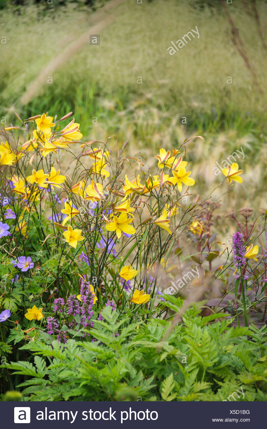 Daylily (Hemerocallis dumortieri), blooming, Germany Stock Photo