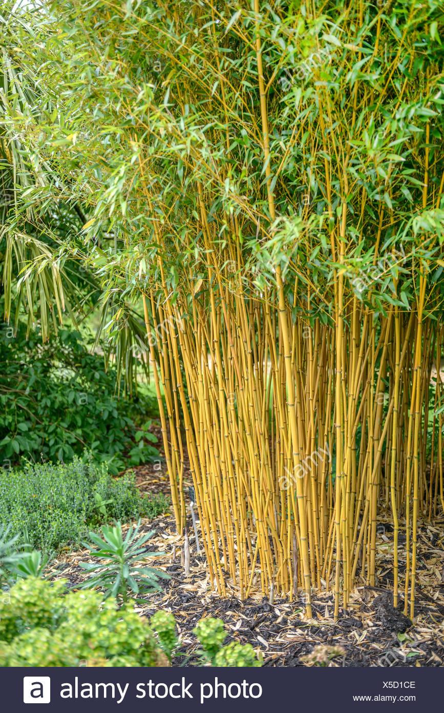 Golden Vivax Bamboo, Vigorous Bamboo (Phyllostachys vivax f. aureocaulis, Phyllostachys vivax 'Aureocaulis', Phyllostachys vivax Aureocaulis), United Kingdom - Stock Image