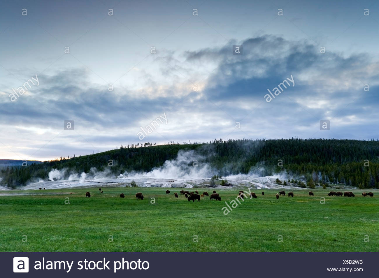 A herd of buffalo graze in front of Upper Geyser Basin in Yellowstone National Park, Wyoming. - Stock Image