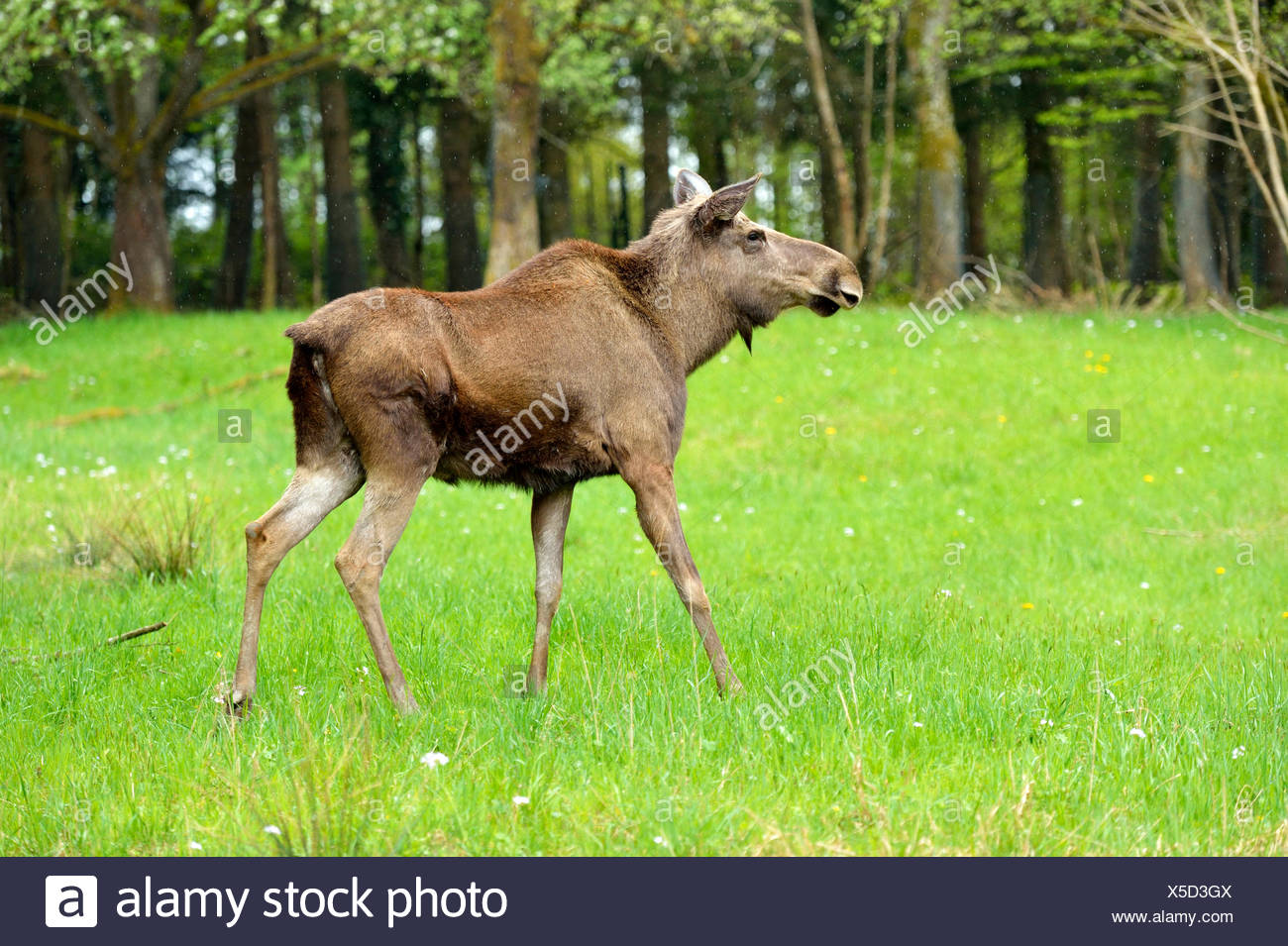 Moose or elk (Alces alces) in fresh grass, captive, Canton of Zurich, Switzerland - Stock Image