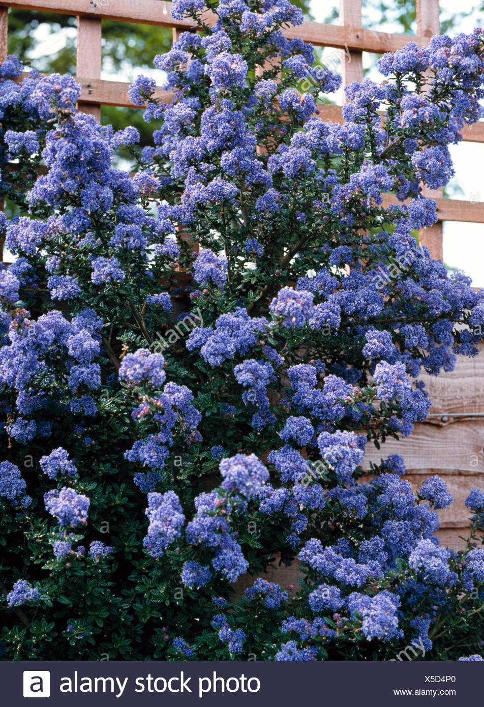 ceanothus blue stock photos ceanothus blue stock images. Black Bedroom Furniture Sets. Home Design Ideas