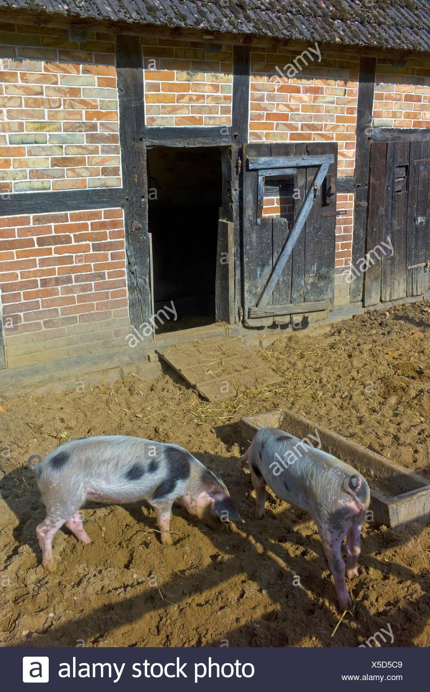 Bentheim Black Pied, Schwarz-Wesses, Bentheimder Schwein, Buntes Bentheimer Schwein (Sus scrofa f. domestica), Bentheim Black Pieds on a farm, Germany, Lower Saxony - Stock Image