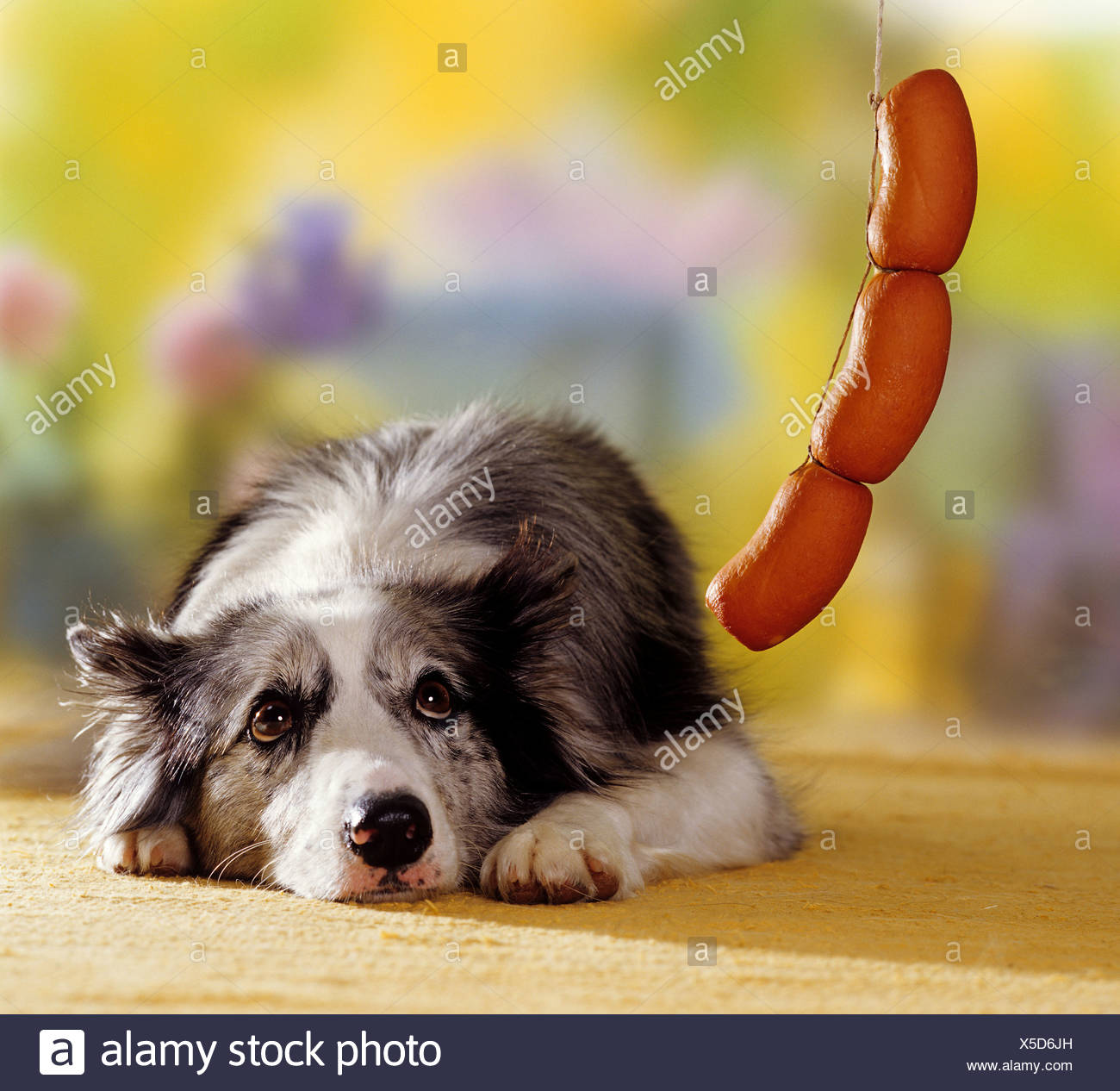 border collie dog looking to sausages - Stock Image