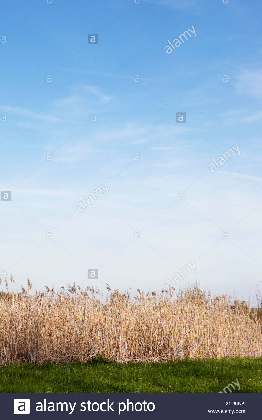Dry reed - Stock Image