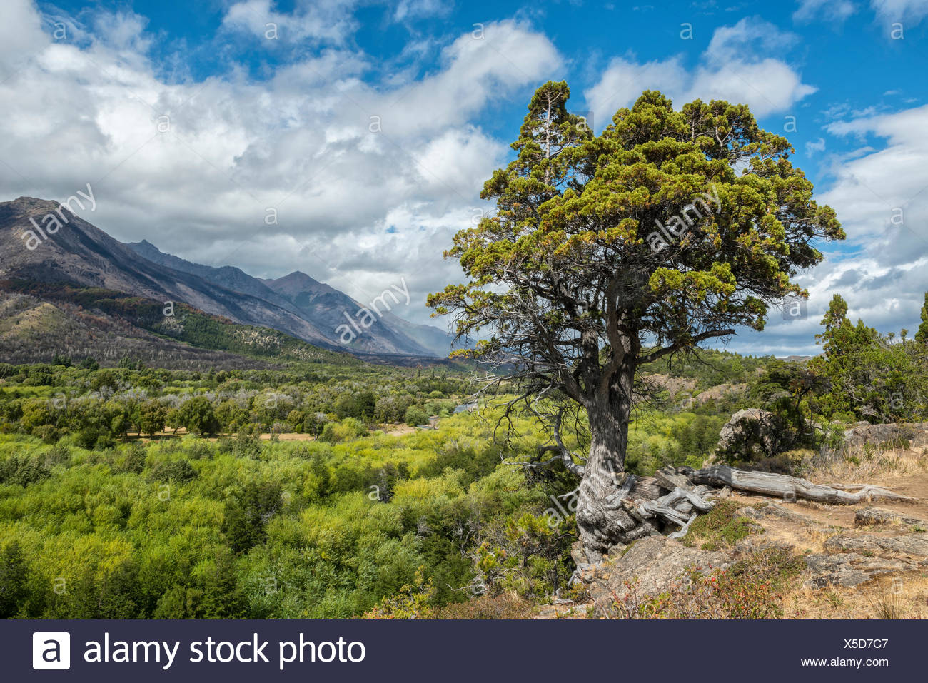 South America,Argentina,Patagonia,Chubut,Esquel,Los Alerces,National Park - Stock Image