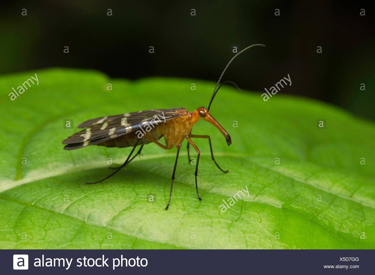 Scorpion fly , Aarey Milk Colony , INDIA. Scorpion flies are so called due to the males of one family Panorpidae having enlarged abdomen and genitalia - Stock Image