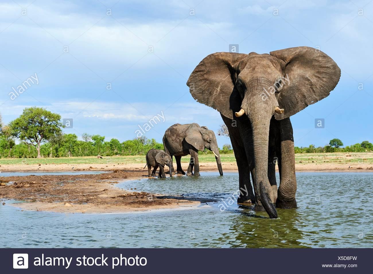 African elephant group (Loxodonta africana) drinking at a watehole. Hwange National Park, Zimbabwe. - Stock Image