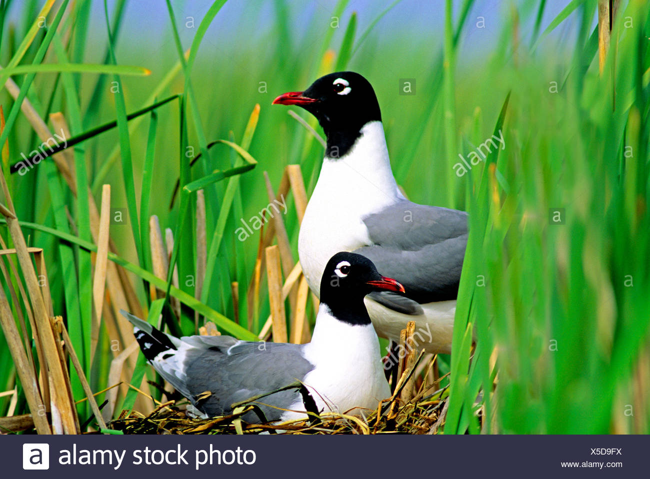 Nesting Franklin's gulls (Larus pipixcan), Alberta, Canada. - Stock Image