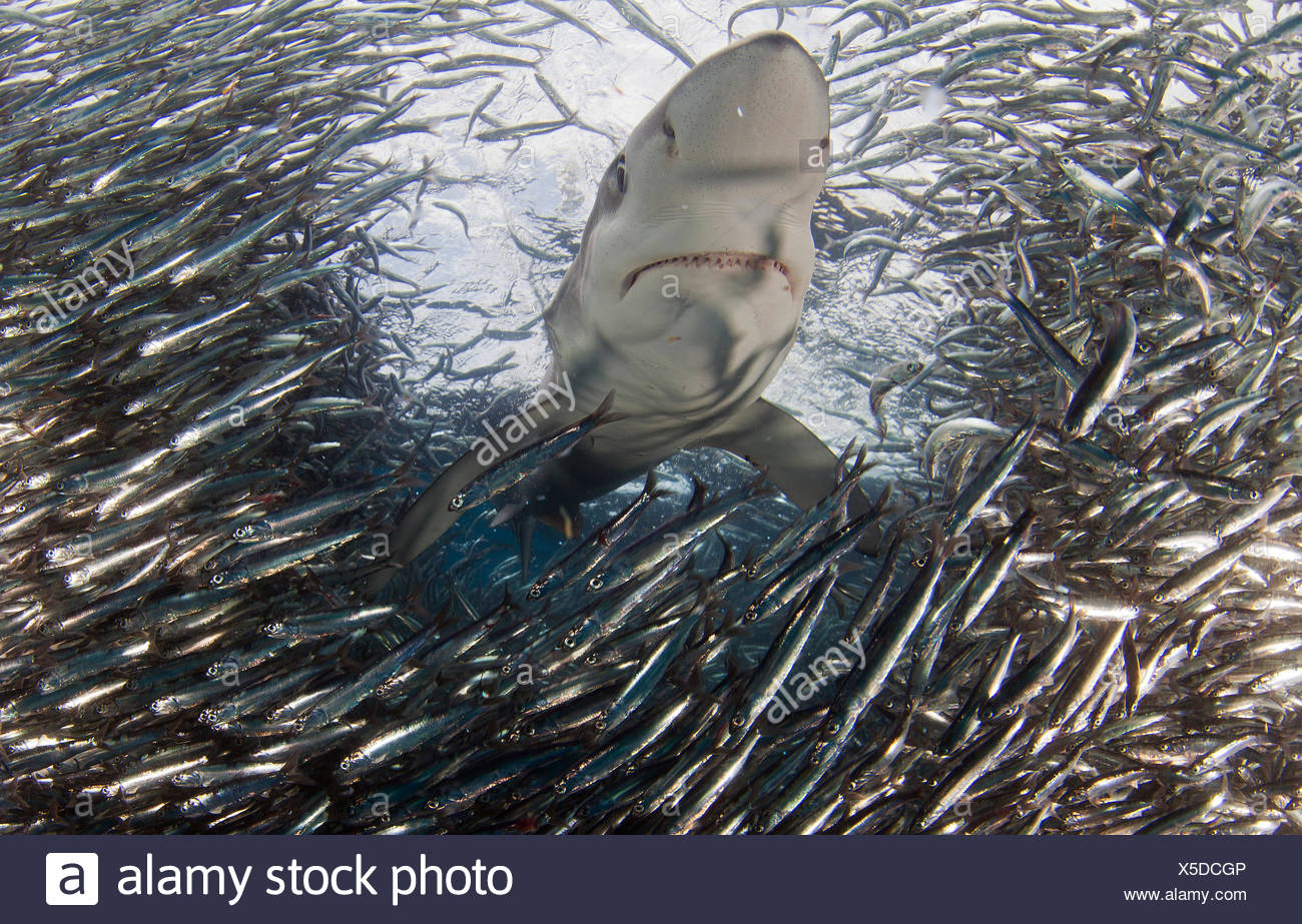 Blue Shark (Prionace glauca) feeding on Anchovy (Engraulis encrasicolus) bait ball, Cape Point, South Africa. - Stock Image