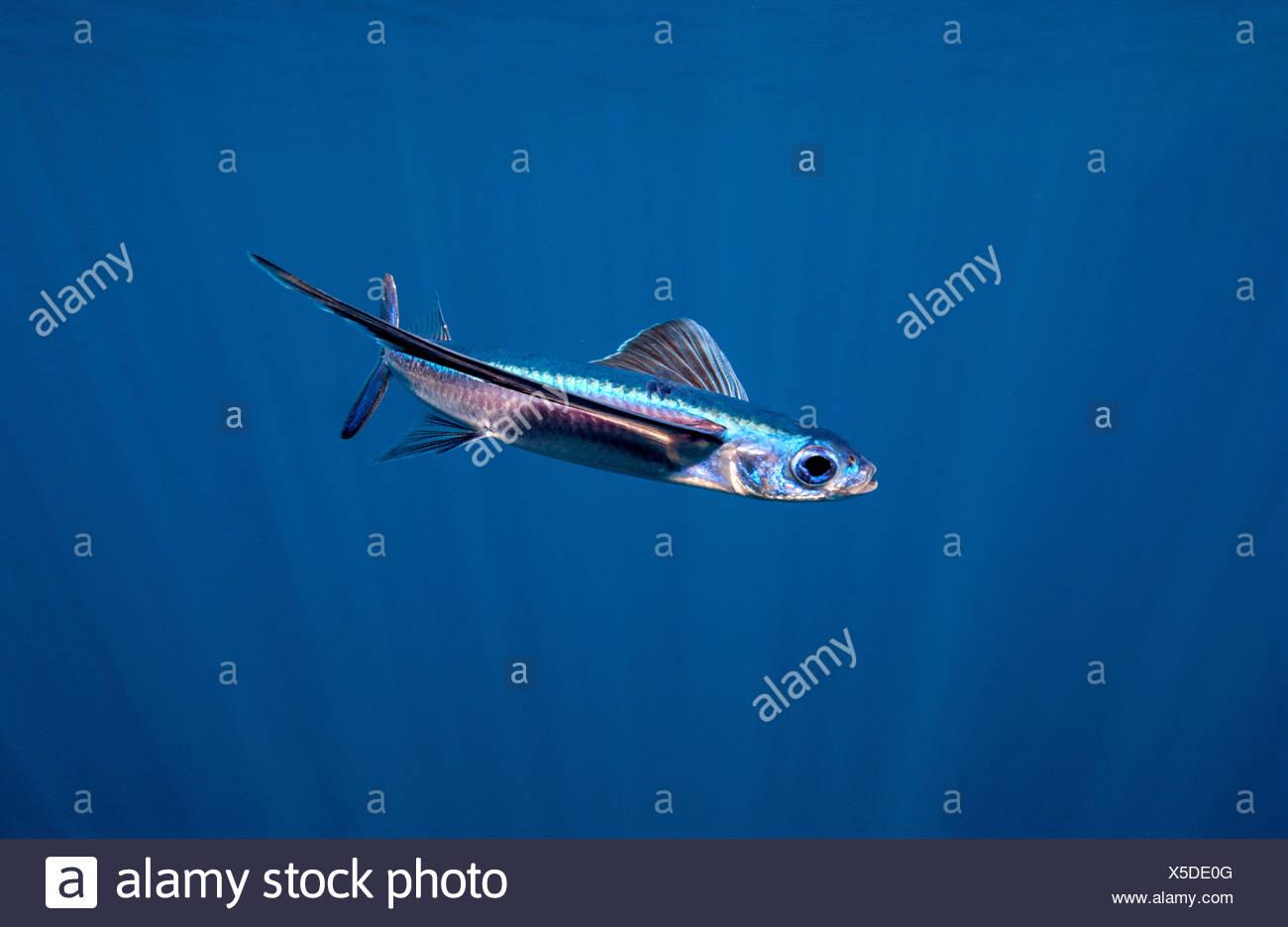 Flying Fish, Open Ocean Stock Photo
