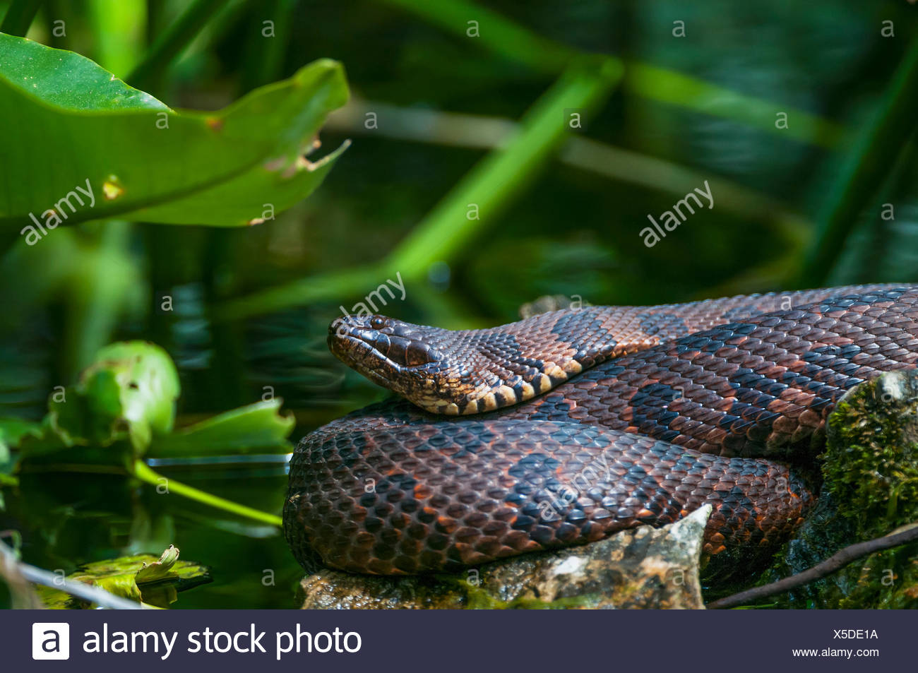 Brown water snake (Nerodia taxispilota); Silver Springs, Florida, United States of America Stock Photo