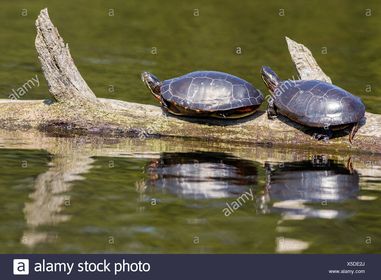 Midland Painted Turtles (Chrysemys picta marginata) sunning, Killarney Provincial Park, Ontario - Stock Image