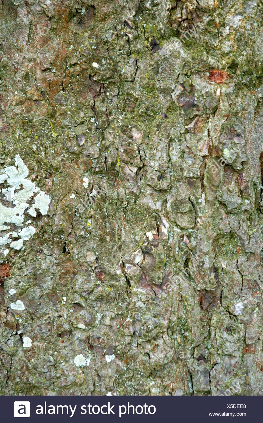 Horse-chestnut Aesculus hippocastanum Hippocastanaceae - Stock Image