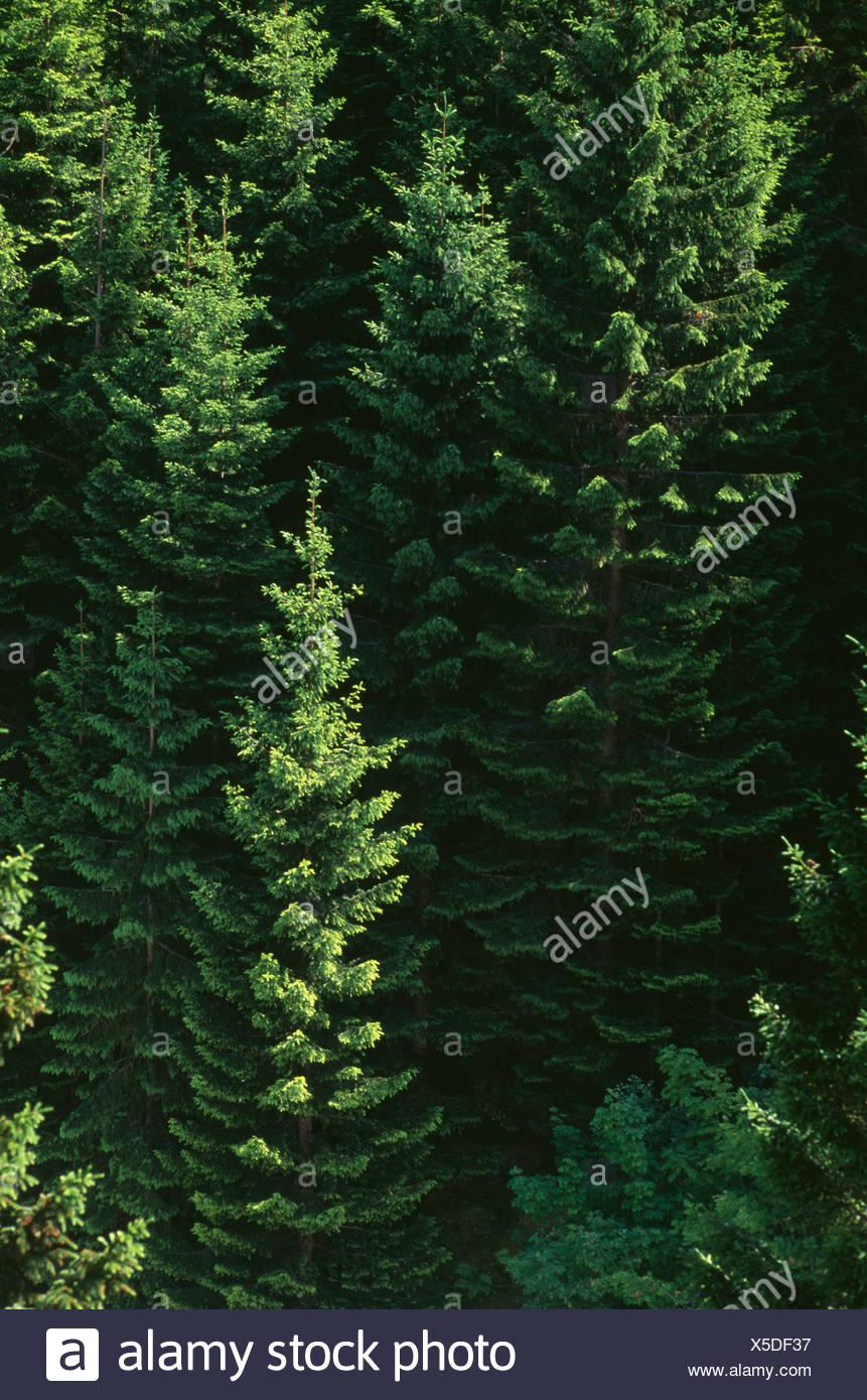 Conifer cultivar, Pine, Fir, Spruce cultivar. - Stock Image