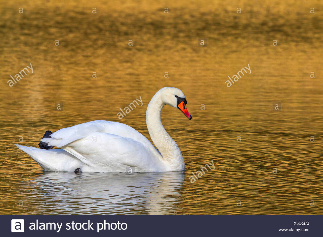 Hoeckerschwan, Hoecker-Schwan (Cygnus olor), im Morgenlicht, Deutschland, Nordrhein-Westfalen | mute swan (Cygnus olor), in morn - Stock Image