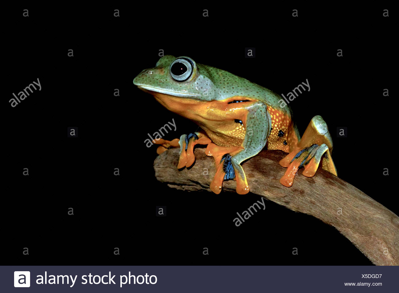 Portrait of a frog sitting on a branch - Stock Image