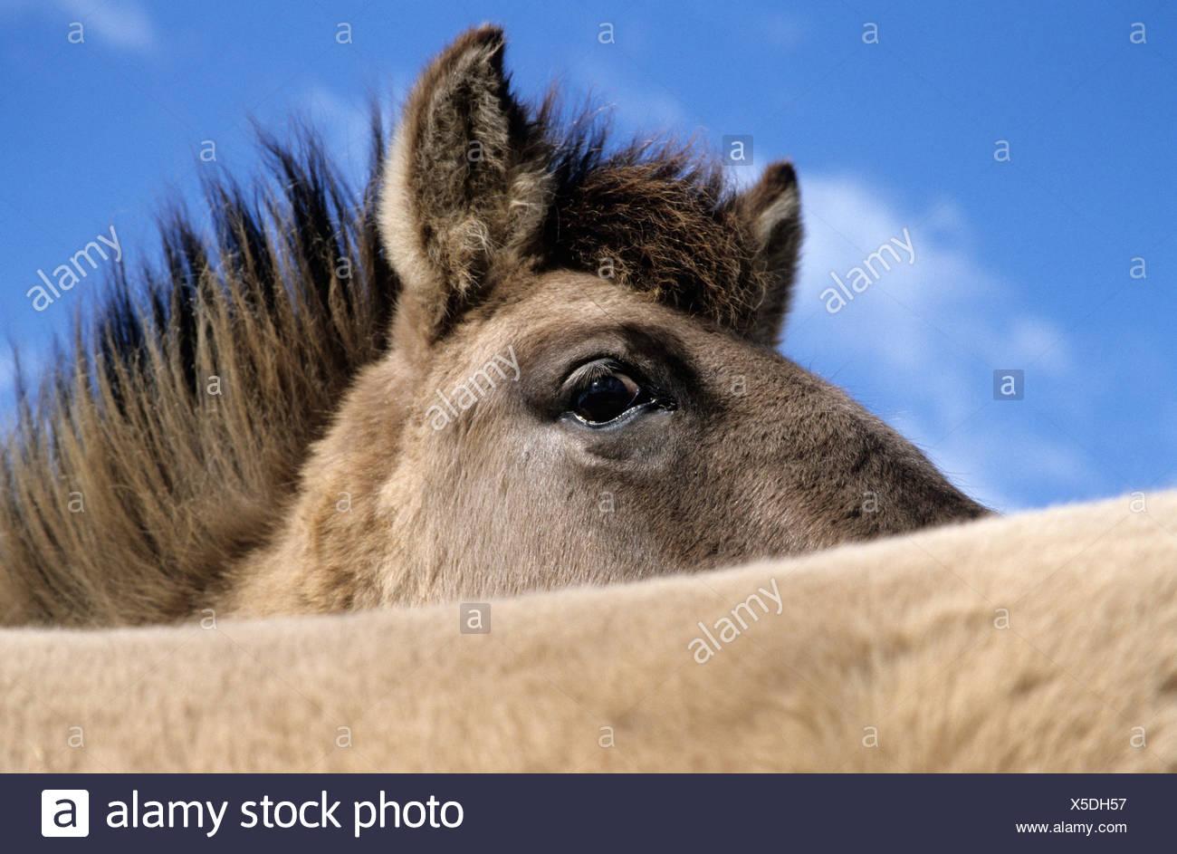 konik, stallion tarpan, equus ferus gmelini - Stock Image