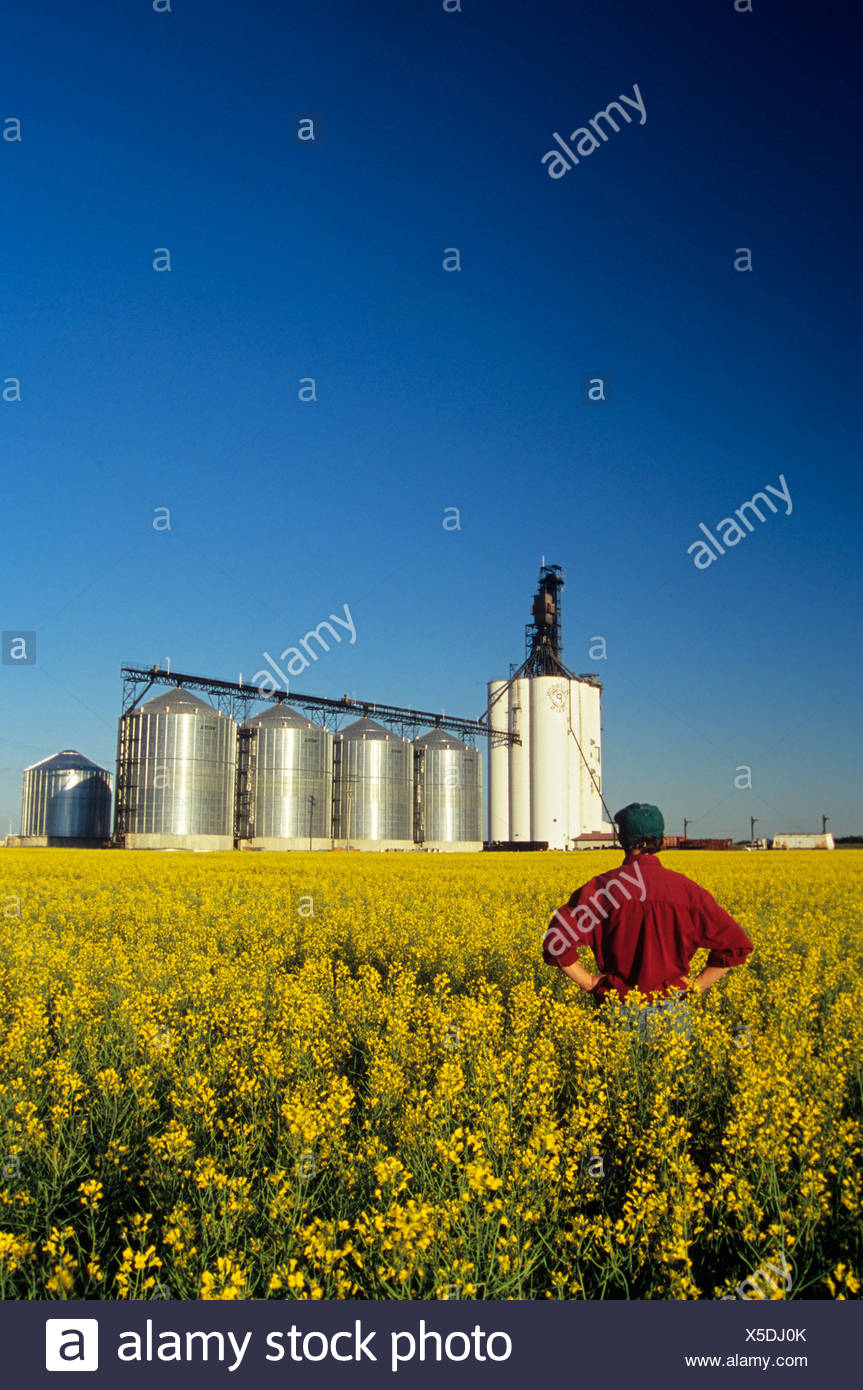 Farmer in bloom stage canola with inland grain terminal in background, Morris, Manitoba, Canada. - Stock Image