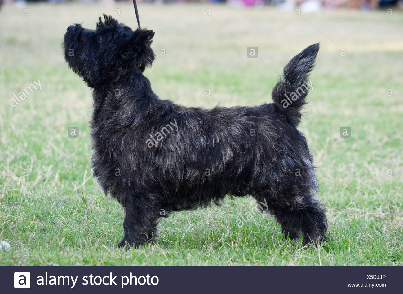 Cairn Terrier At A Dog Show Stock Photo Alamy