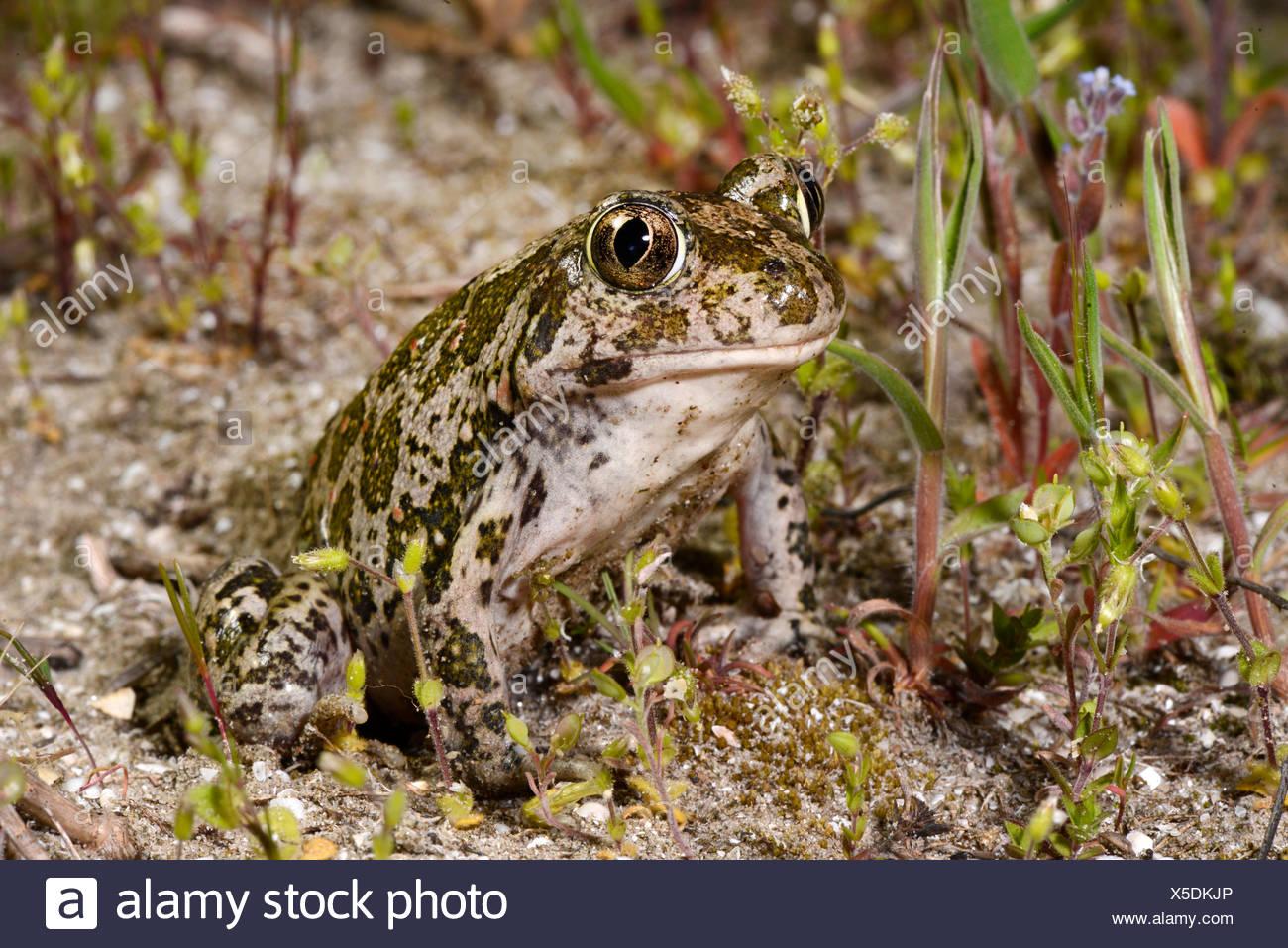 Eastern European spadefoot, Syrian spadefoot (Pelobates syriacus), sitting on sandy ground, Romania, Dobrudscha, Donaudelta, Donau-Delta, Vadu Stock Photo