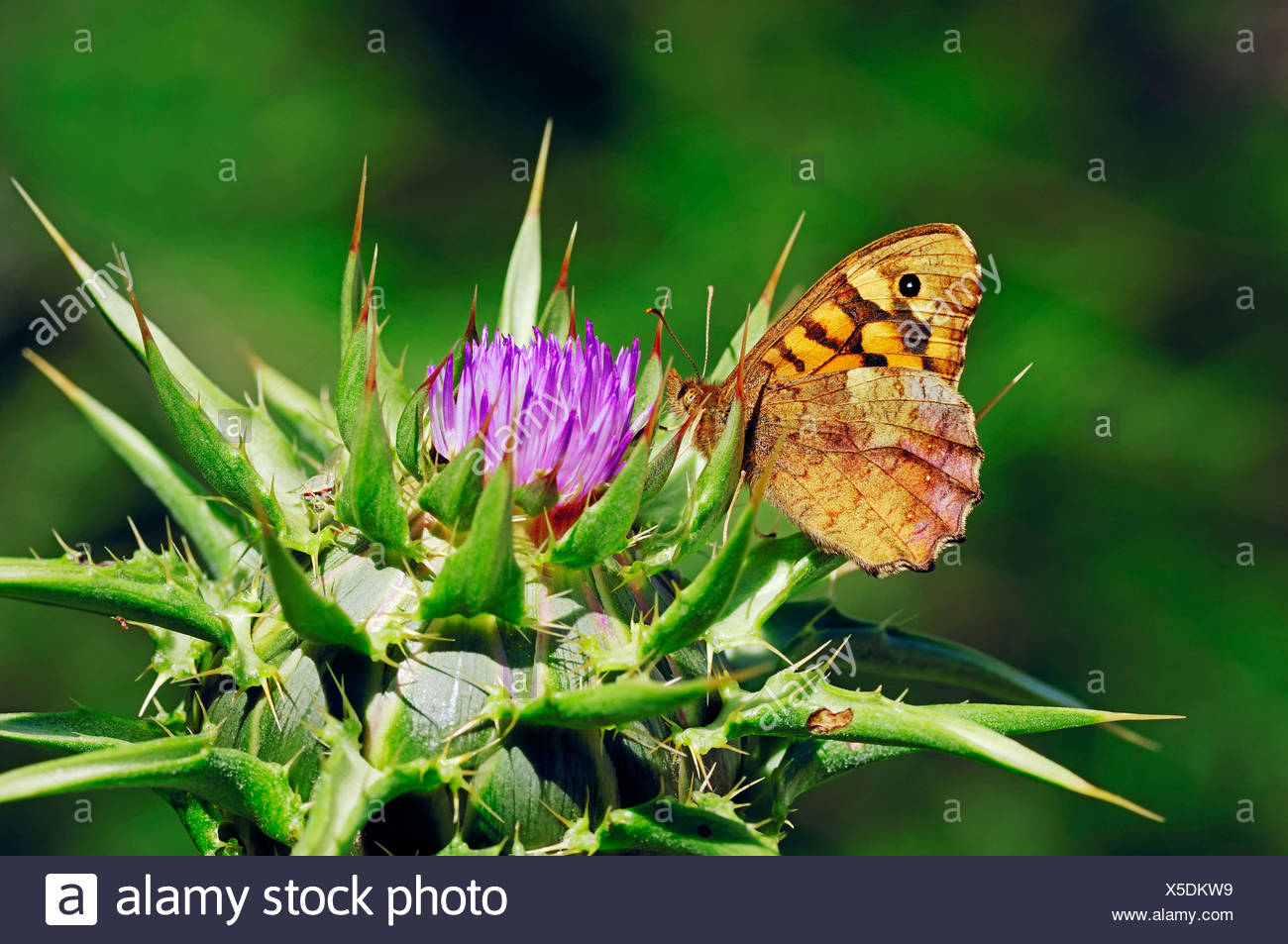 Speckled Wood Butterfly (Pararge aegeria aegeria) on Blessed Milk Thistle, Saint Mary's Thistle, or Scotch Thistle (Silybrum - Stock Image