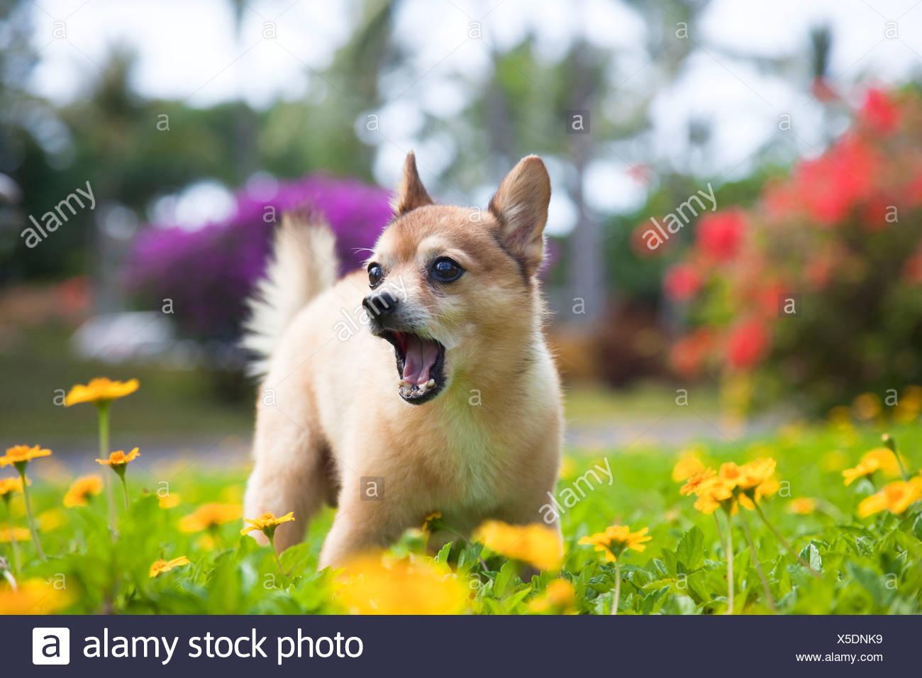Our Pet Dog Kekai Hes Half Pomeranian And Half Fox Terrier Stock