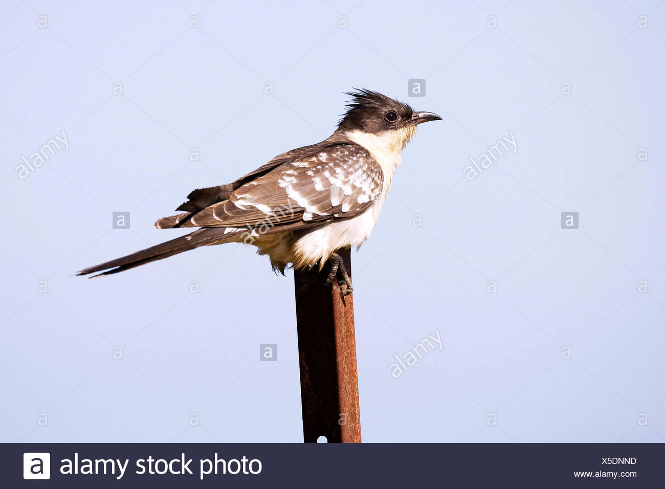 Great Spotted Cuckoo - sitting on a bar / Clamator glandarius - Stock Image