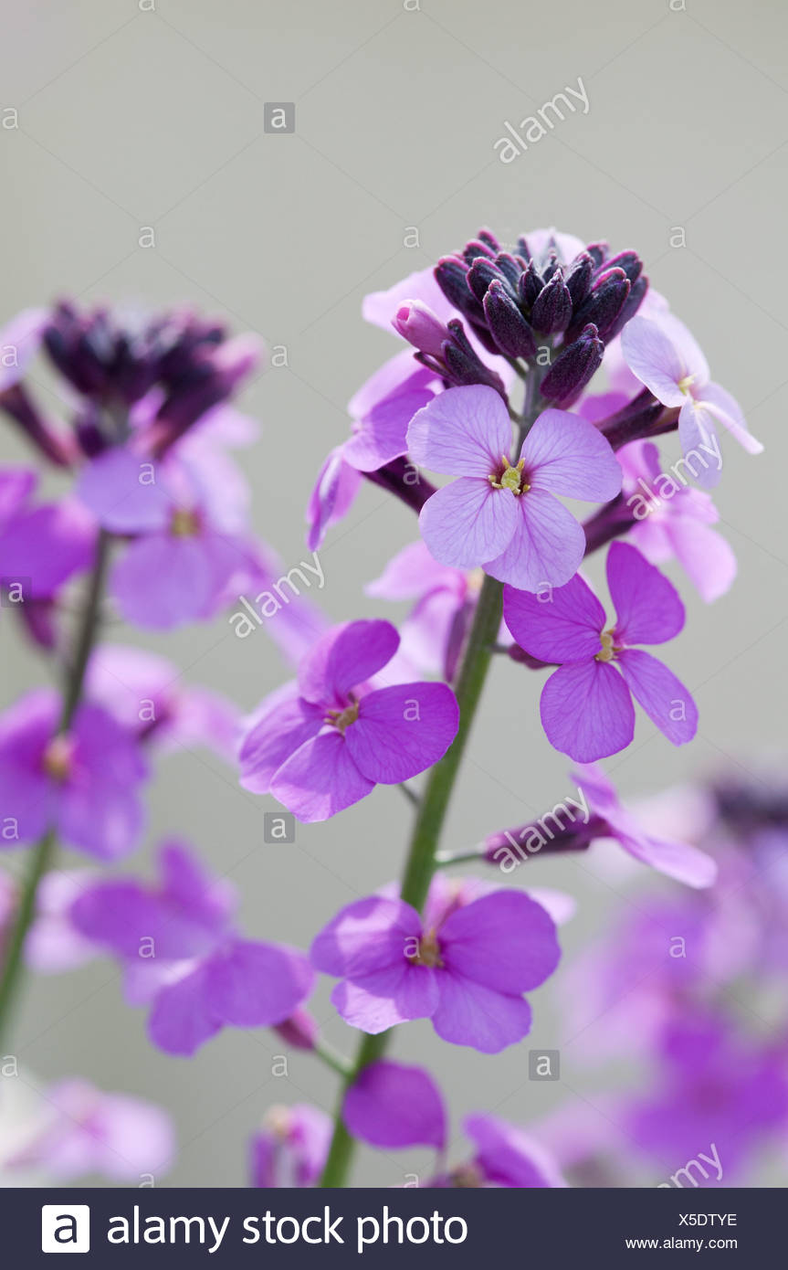 Erysimum 'Bowles Mauve', Wallflower, Purple flowers on a spike. - Stock Image
