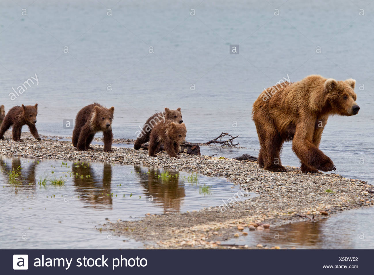 A Brown Bear sow leads her four spring cubs on a narrow spit, Brooks Camp, Katmai National Park, Southwest, Alaska - Stock Image