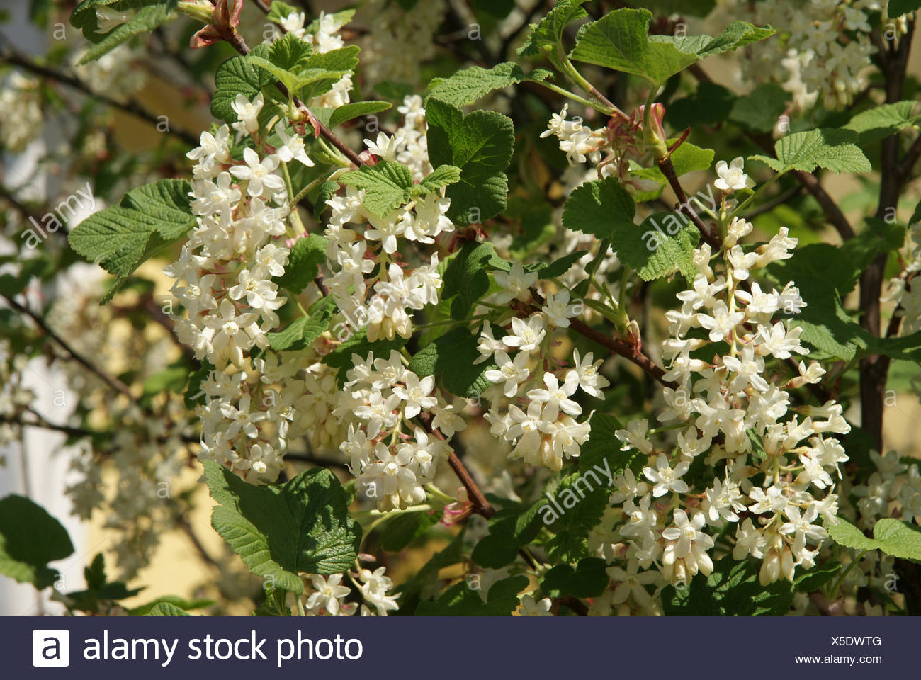 White flowering currant stock photo 278744832 alamy white flowering currant mightylinksfo