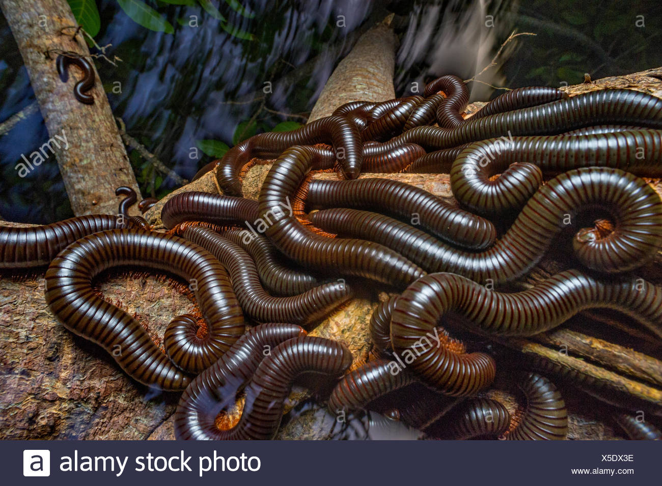 Giant millipedes, were threatened when rats reached the island resort of Fregate, cluster on a tree branch. - Stock Image