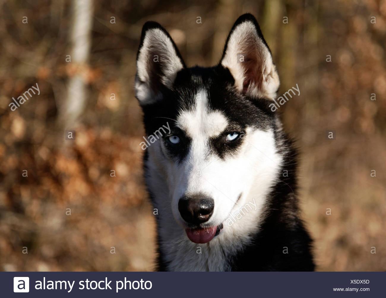 Portrait of a Siberian Husky Stock Photo