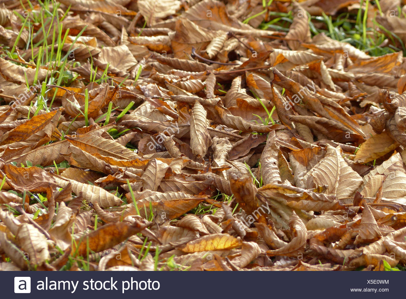 Herbstlaub am Boden,Autumn leaves on the ground,autumn, harvest, fall, leaves, foliage, beech leaves, season, colorful, detail, Stock Photo