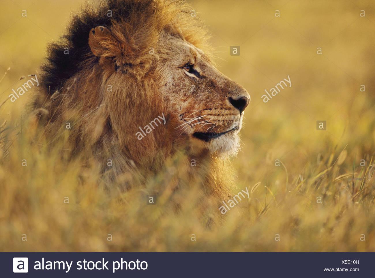 Masai Mara Reserve Kenya Lion Pantherleo Masai MarReserve Kenya - Stock Image