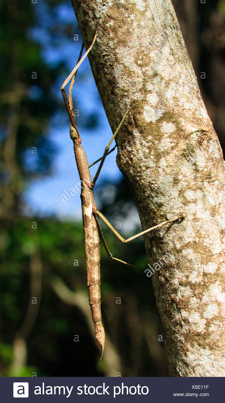 An enormous stick insect climbing the trunk of a tree - Stock Image