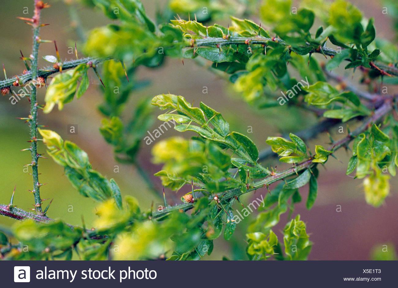 Kangaroo thorn, Prickly Wattle, Paradox Acacia (Acacia paradoxa, Acacia armata), branches Stock Photo