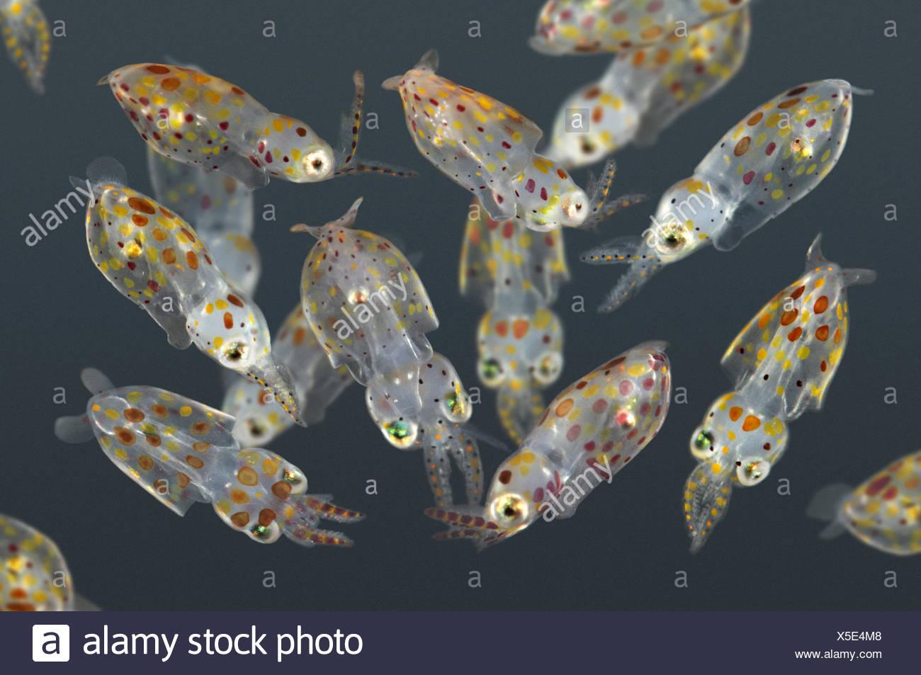 Young Common Squid - Loligo vulgaris - Stock Image