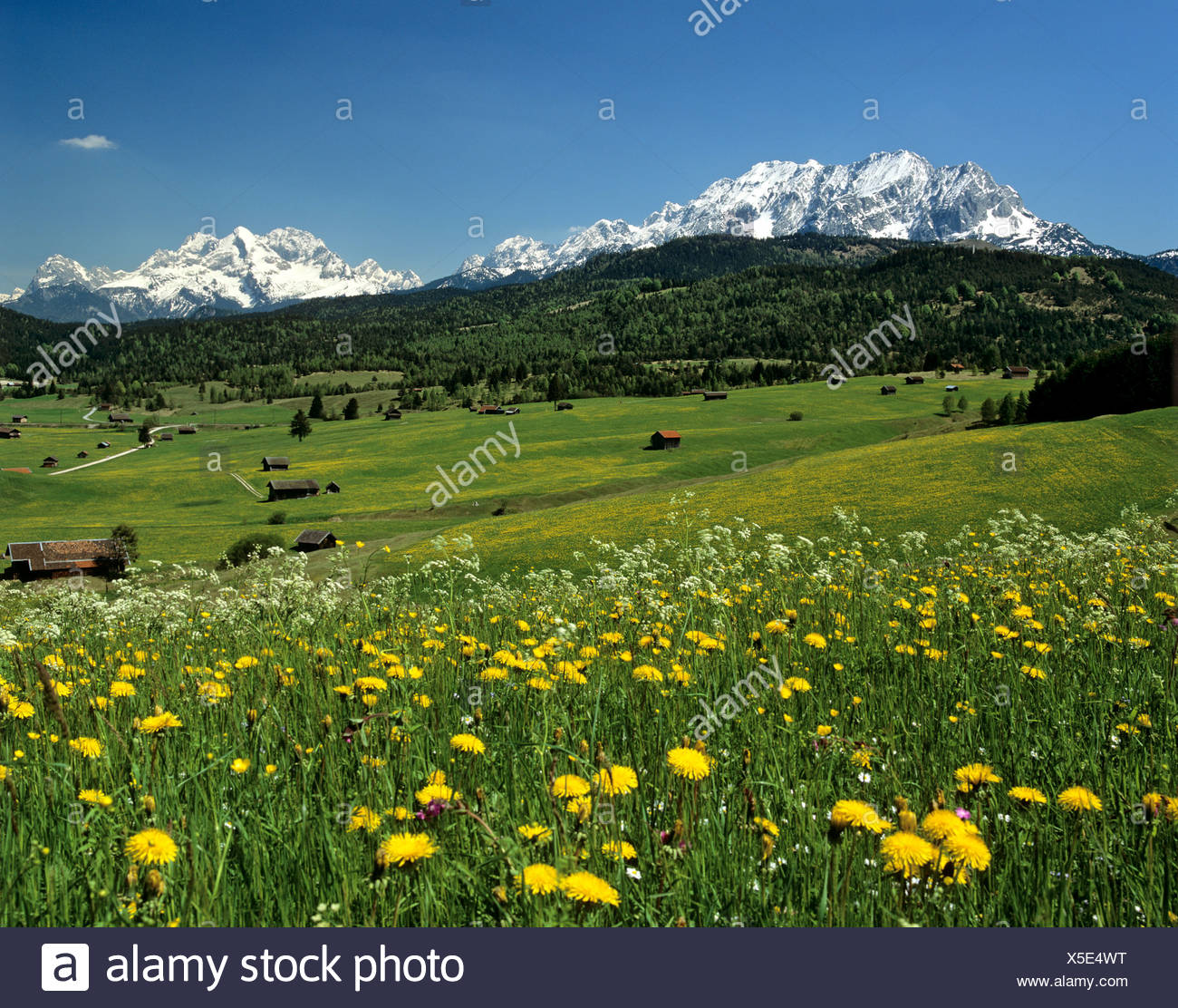 Tonihof Wildlife Park, Flower meadow in spring, Wetterstein Range, Mittenwald Forest, Upper Bavaria, Bavaria, Germany, Europe Stock Photo