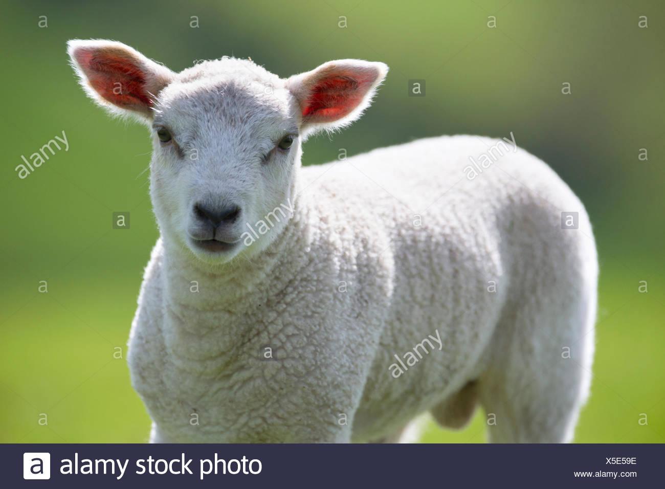 Close up portrait of lamb - Stock Image