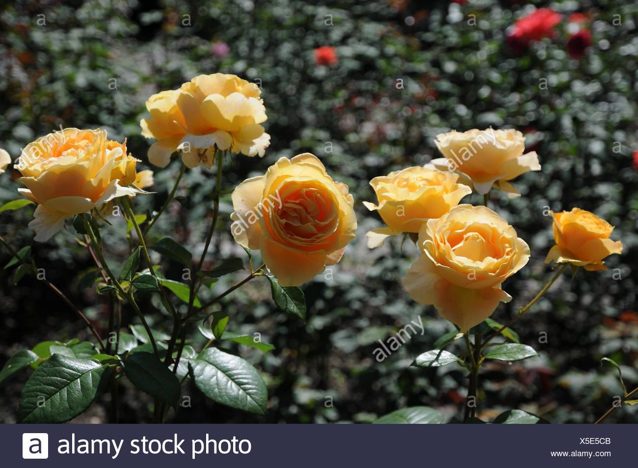 Rosa Candlelight, Hybrid-rose - Stock Image