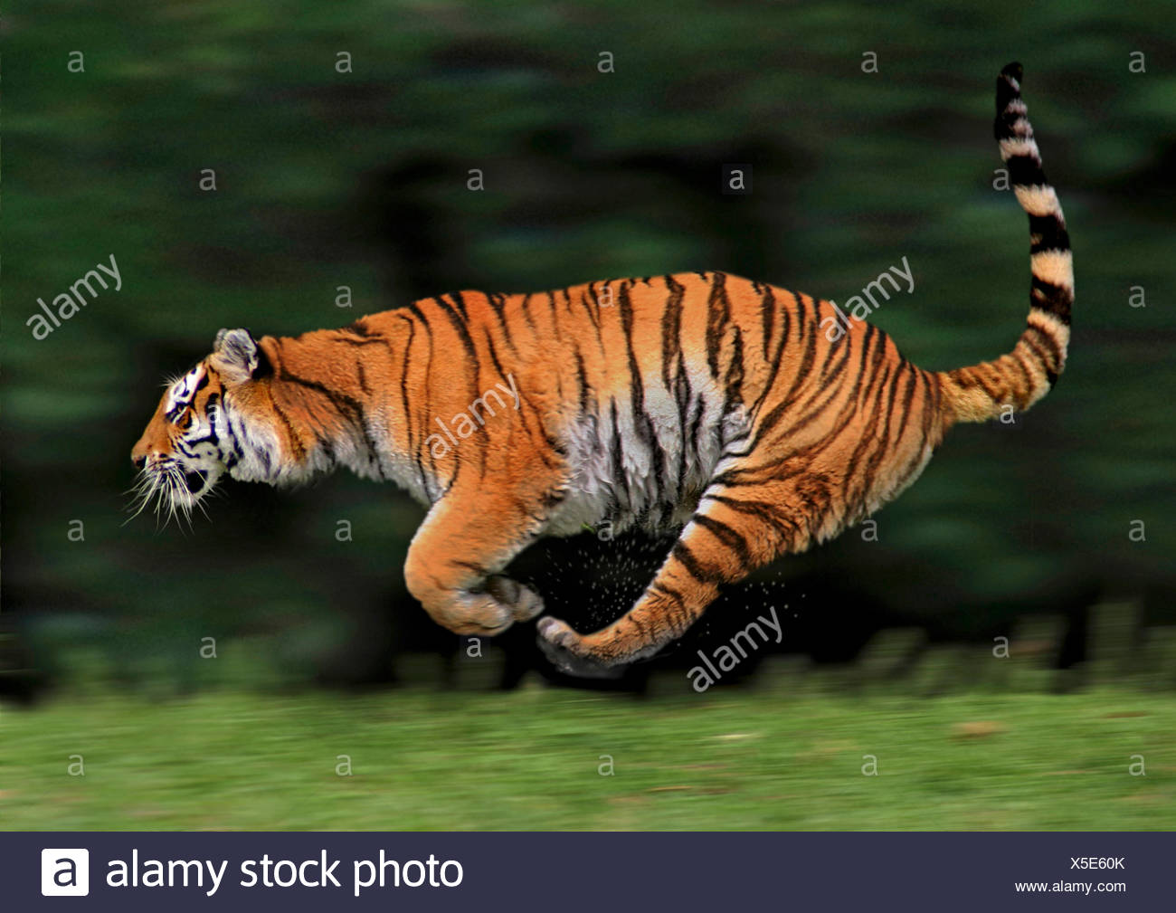 tiger (Panthera tigris), lateral running, action Stock Photo